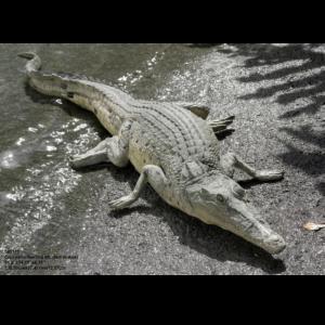 H-80111 Crocodile Resting - Krokodil
