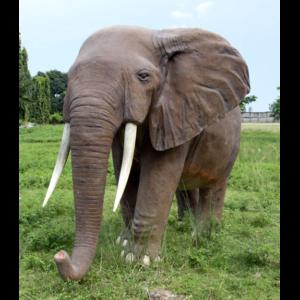 H-100059 African Elephant - Afrikaanse Olifant