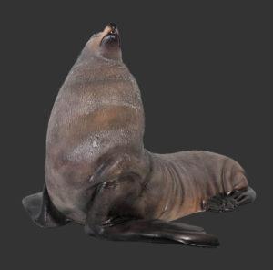 H-100093 Male Fur Seal - Zeeleeuw