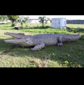 H-100097 Crocodile - Krokodil 887 cm