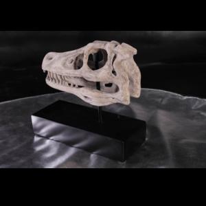 H-100503 Dinosaurs Raptor Scull - Dinosaurus