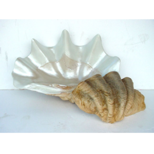 1784 Sea Shell Oester - Schelp