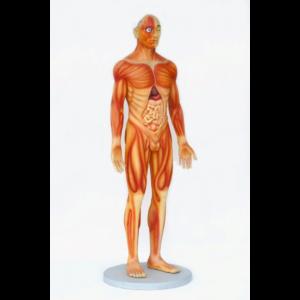 2549 Human Anatomy - Male