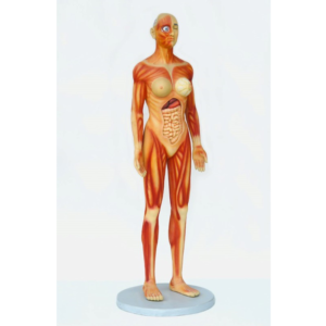 2550 Human Anatomy - Female