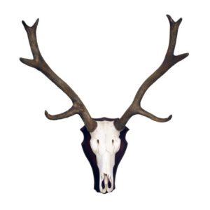 2927 Reindeer Skull on Plate - Rendier