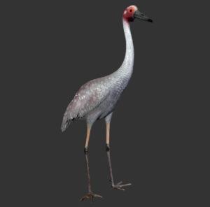 H-80122 Brolga Crane - Kraanvogel