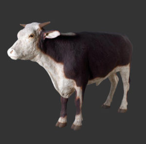 H-80125 Hereford Steer - Stier