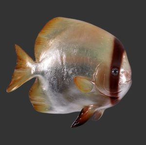 H-120061 Batfish - Vis