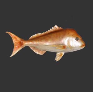 H-120053 Snapper - Lutjanidae